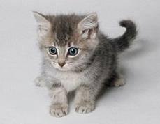 Genetici sestavili podle analýz DNA vývojovou větev všech současných kočkovitých šelem