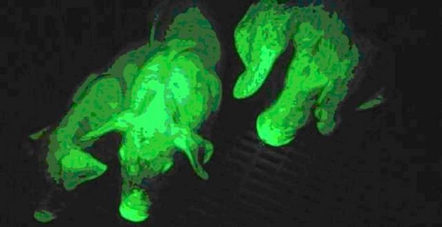 Genetičtí inženýři si opět pohráli s geny a výsledek je překvapivý: prase, které v noci fluoreskuje.