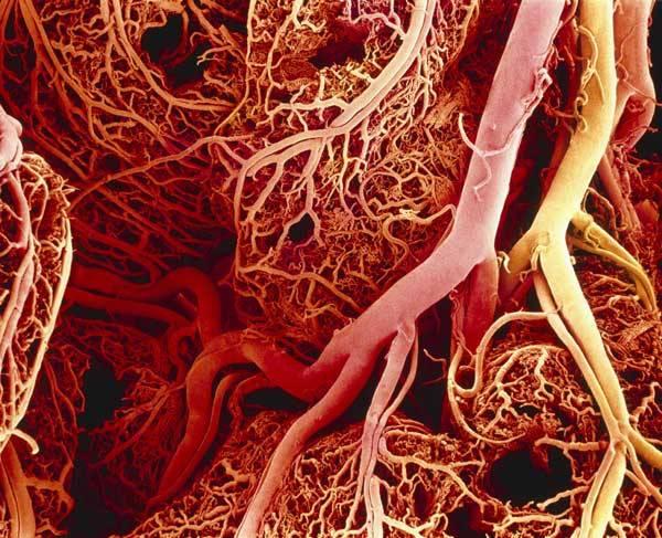 Tenké střevo (intestinum tenue) představuje v lidském těle jedno z nejdůležitějších míst trávicího ústrojí, kde dochází k trávení a vstřebávání největšího množství živin z přijaté potravy.