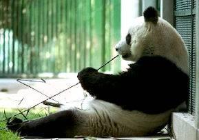 Čínští zoologové dospěli k překvapivému rozhodnutí. Hodlají totiž do volné přírody vypustit všechny pandy velké, které byly dosud chovány v rezervacích.