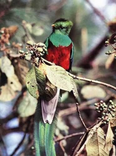 V mlžných lesích Střední Ameriky můžeme při troše štěstí spatřitjednoho z nejvzácnějších ptáků světa, quetzala. Pamatuje pád říše Aztéků a dodnes je i symbolem Guatemaly. 21. STOLETÍ se zajímalo, co nového o nich zjistily poslední výzkumy.