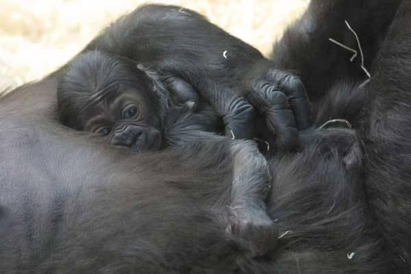 Určení pohlaví gorilího mláděte se může zdát snadné. U Moji z pražské zoologické zahrady se však odborníci přesvědčili, že to zas až tak jednoduché není. Jak ale skutečně testování probíhalo? Nakolik se testování gorilí DNA podobá tomu lidskému?