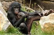 Předpokládání možných budoucích situací a připravování se na ně není lidskou výsadou, šimpanzi a orangutani to zvládají také.