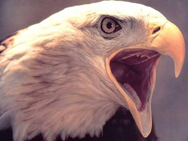 Jedním z největších dravých ptáků, kteří se kdy vznášeli nad zemským povrchem, byl obří orel. Testy DNA fosilních kostí dokazují, že tento predátor žil i na Novém Zélandu.