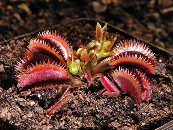 Od časů Charlese Darwina vědci marně usilovali o objasnění mechanismu jímž dokáže masožravá mucholapka podivná (Dionaea muscipula) sklapnout svoji smrtonosnou past za pouhou desetinu sekundy. Jde o nejrychlejší pohyb, jaký byl kdy zaznamenán v rostlinné říši. Podařilo se jim to teprve počátkem letošního roku.