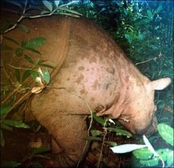 Jeden z pravděpodobně pouhých 13 exemplářů z populace v malajském státě Sabah se stal obětí automatického fotoaparátu.