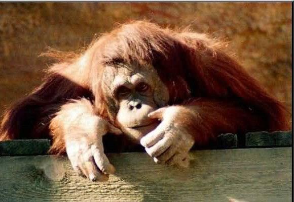 Američtí vědci sérií testů potvrdili, že lidoopi svou inteligencí předčí opice. I když u některých druhů převaha není vůbec zřejmá.