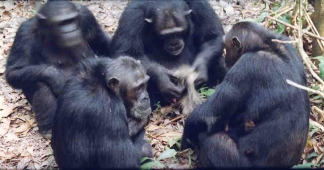 O šimpanzech je poměrně dlouho známo, že se jejich schopnosti v jednotlivých skupinách z různých oblastí výrazně liší. Vědci chtěli vědět, jestli je to zapříčiněno předávanými zkušenostmi, nebo pouze rozdílnými podmínkami.