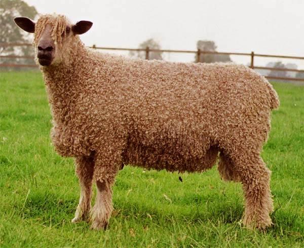 Britská firma Creative Paper Wales bojuje proti mýcení lesů po svém. Začala vyrábět papír z ovčích exkrementů.