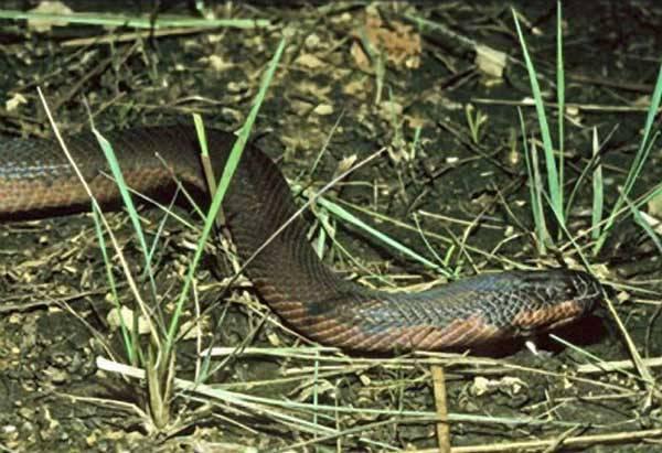 Hnědá nebo bílá? Když si had hraje na chameleona… V pralesích Bornea byl objeven nový druh jedovatých vodnářek, který dokáže během několika málo minut změnit svou běžnou barvu na bílou.