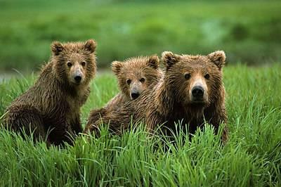Bývalo zvykem, že medvědi žijící na Sibiři, začátkem listopadu už spokojeně pochrupkávali. Vzhledem k vyšším teplotám se však zdá, že tato tradice bude porušena.