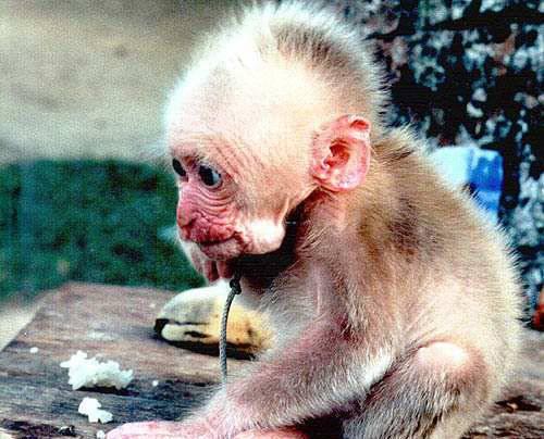 Vietnamci oznámili, že se jim podařilo naklonovat makaky.