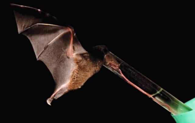 Vzácný jihoamerický druh netopýra má jazyk 1,5krát delší než celé tělo, což z něj činí rekordmana mezi savci.