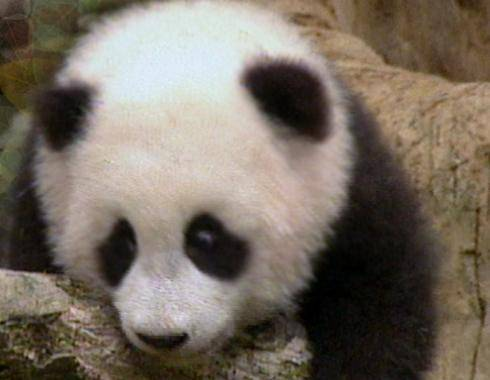 Slušný úspěch zaznamenaly čínské chovné stanice pand. Za uplynulý rok se v nich narodilo 34 mláďat.
