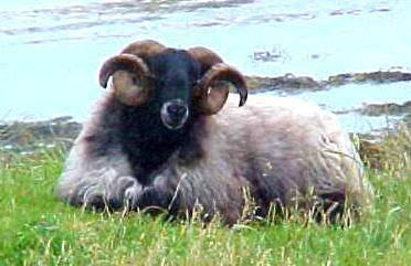 Američtí vědci se ocitli pod palbou kritiky za to, že chtějí pomoci chovatelům ovcí.