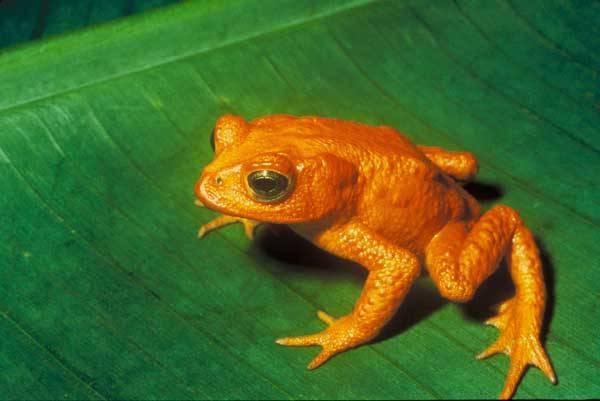 Obojživelníky celého světa kosí mimořádně nakažlivá choroba, o níž se toho zatím mnoho neví. Nebudou-li však brzy přijata účinná opatření, řada druhů nenávratně vyhyne. Jde i o životy našich žab a mloků!