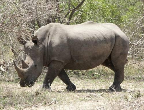 Historickým úspěchem se může pochlubit zoologická zahrada v Budapešti. Právě tam se narodilo první mládě nosorožce umělým oplodněním.
