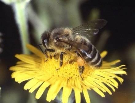 Záření z mobilů možná stojí za úbytkem populací včel.