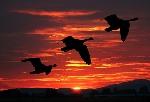 Podle ornitologů je globálním oteplováním ohrožena velká část migrujících ptáků.