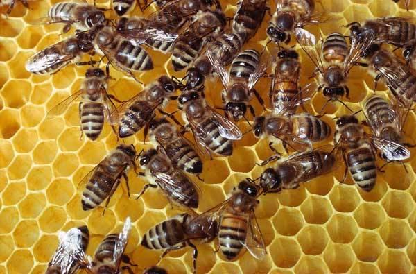 S nejnovějším rozluštěním včelího genomu (dědičné informace) se vyvalila lavina zcela nových překvapivých poznatků o těchto neúnavných opylovačích. Za každé třetí sousto, jež sníme, vděčíme právě jim! Proto je varující, že z přírody mizí nejen včely medonosné (domácí), ale i divoké.