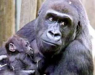 Krátce po půlnoci porodila samice Kijivu, která je matkou i slavné Moji.