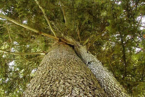 Jedle bělokorá (Abies alba) je vysoký statný jehličnatý strom (dorůstá výšky až 65 m) s pyramidální až válcovitou korunou na vrcholu zploštělou (tzv. čapí hnízdo) a válcovitým rovným kmenem o průměru až 2 m. Kůru má hladkou, většinou světle šedivou, ve stáří tmavší. Dožívá se 300 - 600 let.