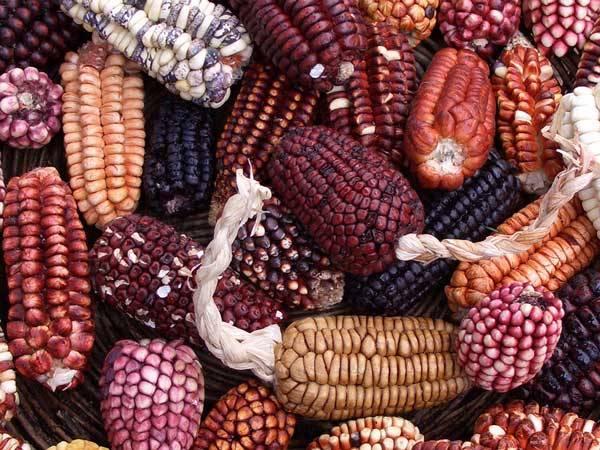 Čeká Ameriku hladomor? Udusí etanol krmivářskou kukuřici? Na Americkém kontinentu představuje kukuřice jednu z nejdůležitějších plodin. Slouží zejména jako krmivo pro hospodářská zvířata, ale využívá se hojně i v potravinářském průmyslu.