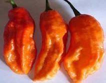 Indická paprika Bhut Jolokia dvojnásobně překonala dosavadní držitelku rekordu v pálivosti.