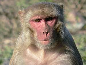 Elektrické signály mozků makaků si vědci posílají po internetu.