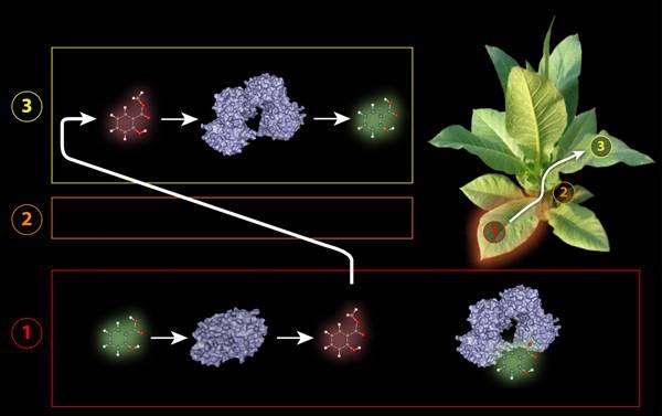 S objevem, který by mohl vést k vývoji zdravých plodin se zvýšeným výnosem, zvýšenou odolností a menší potřebou pesticidů, přicházejí vědci z Boyce Thompsonova ústavu (BTI) pro výzkum rostlin z Ithaky ve státě New York v  USA.