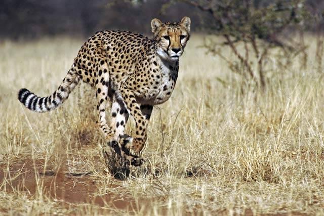 Lev – král zvířat. To je alespoň tradiční lidská představa. Zakládá se však na pravdě? Odpověď na tuto otázku hledají v současné době odborníci z Mezinárodní unie pro ochranu přírody a přírodních zdrojů (IUCN).