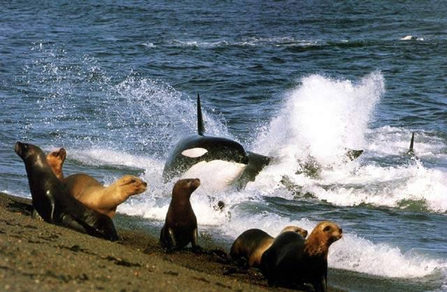 Kosatka patří mezi největší lovce na naší planetě. Její kořistí se stávají velcí savci, které díky jejich inteligenci není nijak snadné přelstít. Proto občas nezbývá, než sáhnout k opravdu důmyslným postupům, na kterými současní etologové jen nevěřícně kroutí hlavou.