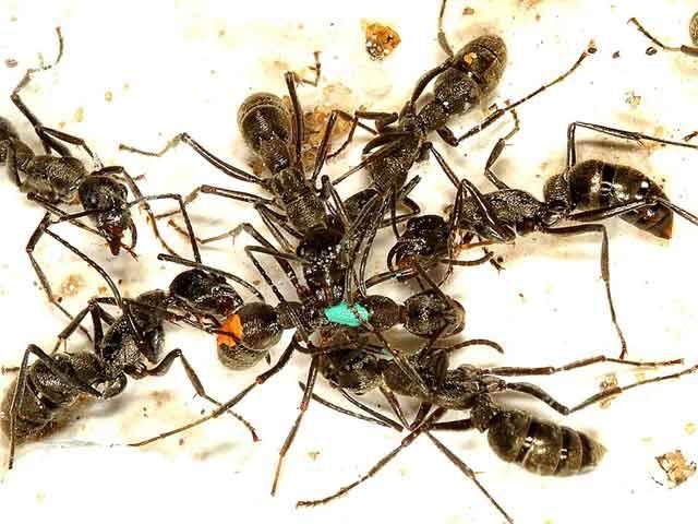 Vznik sociálního chování u hmyzu se stále ještě nedořešenou otázkou. Nejnovější práce ukazuje, že doposud přijímané vysvětlení nemusí být postačující.