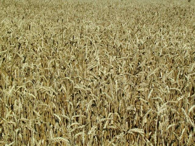 Řeknete si - lidé museli být dost zoufalí, když se rozhodli jíst trávu. Zvlášť, když se nyní začíná ukazovat, že cesta od obyčejných, nepříliš plodných klasů divokých travin k těm, které se již dobře vyplatí pěstovat, byla zjevně mnohem delší, než jsme si dříve mysleli.