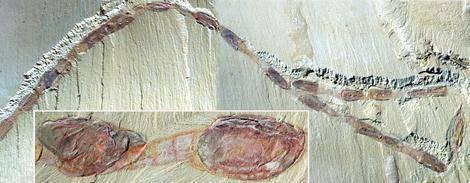 """Mezi zkamenělinami si vědci zvykli nacházet ledascos. Objevit lze zkamenělé prvoky, nejrůznější larvy i fosilizovaná vejce. Britští vědci ve spolupráci se svými čínskými kolegy objevili nedávno zkamenělinu skutečně podivnou – zkamenělý """"průvod""""."""