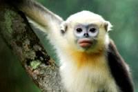 Langurové indočínští  (Pygathrix avunculus) patří mezi vůbec nejvzácnější a také nejohroženější zvířata na světě. Odhaduje se, že celkový počet těchto krásných opiček, zapsaných v červené knize kriticky ohrožených druhů na světě nepřesahuje číslici 200. Objev každé nové populace je proto pro biology malou senzací a také pořádným důvodem k oslavě.