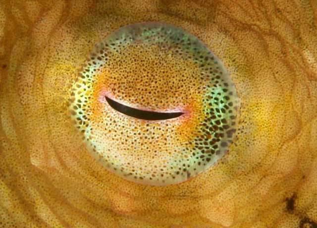 """Čeští genetici odhalili jedno z překvapivých tajemství evoluce zraku. Prokázali, že obratlovci včetně člověka """"opsali"""" základní konstrukční prvky oka od primitivních živočichů z příbuzenstva medúz. Zprávu o jejich objevu otiskl dokonce prestižní vědecký časopis Proceedings of the National Academy of Sciences."""