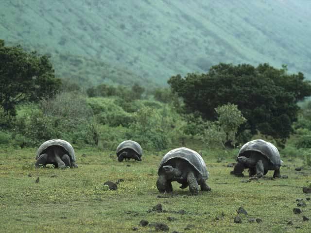 Vyhubená obří želva má naději na zmrtvýchvstání: Genetika dává želvám druhou šanci: Želva sloní, Geochelone elephantopus, je největší z druhů obrovských želv, které lze potkat na několika ostrovech ve světových oceánech (Seychelách, Mauritiu a Réunionu, Sulawesi, Timoru, Jávě, Galapágách).