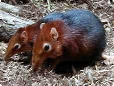 Pohoří Unzungwa, které se táhne od jižní Keni až do Tanzánie, patří k nejméně prozkoumaným oblastem světa. Každá další výprava vědců do této oblasti proto přináší mnohá zajímavá překvapení. V roce 2004 zde došlo k objevu neznámého druhu opice mangabeje horského zvaného také kipunži a v nedávné době odtud přišlo pro vědce další překvapení - nový druh podivného savce z řádu bércounů.