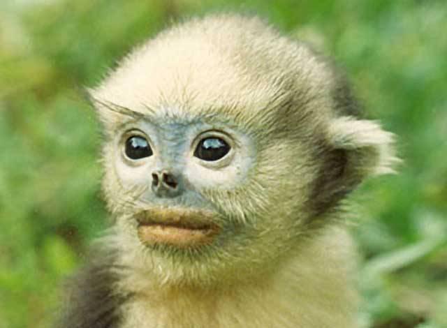 Langurové indočínští (Pygathrix avunculus) patří mezi vůbec nejvzácnější a také nejohroženější zvířata na světě. Odhaduje se, že celkový počet těchto krásných opiček, zapsaných v červené knize kriticky ohrožených druhů, na světě nepřesahuje číslici 200. Objev každé nové populace je proto pro biology malou senzací a také pořádným důvodem k oslavě.