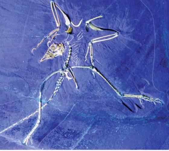 Archaeopteryx lithographica, jurská fosilie s ptačími i plazími rysy, byla od svého nálezu ve vědeckém světě akceptována jako nejstarší známý primitivní pták. Je to již sto čtyřicet osm let, co byly objeveny kosterní pozůstatky prvního jedince.
