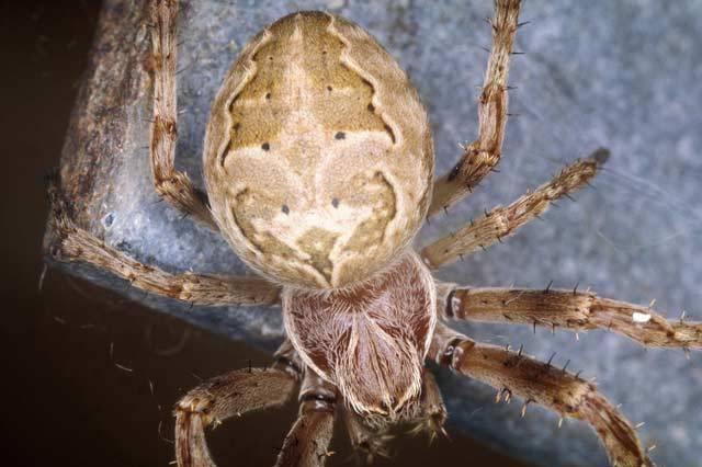 Na pavouky má většina z nás jasný názor. Jsou to ošklivá stvoření, která mohou být navíc i nebezpečná. Nejlepší by bylo vzít botu a nebožáka co nejrychleji rozplácnout. Odborníci na pavouky, arachnologové, však na své miláčky nedají dopustit. 21. STOLETÍ vás nyní provede světem těch nejzajímavějších, které můžete u nás potkat. Třeba doma za skříní.