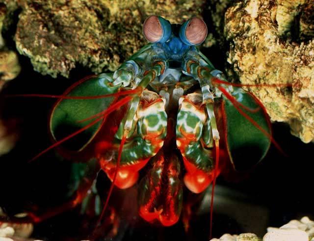 Asi se nenajde příliš mnoho lidí, kteří při pohledu na krevety pociťují nějaký silný estetický zážitek. Přesto patří tito korýši mezi vyhlášené pochoutky, fajnšmekři jsou za kilogram krevet ochotni zaplatit klidně i 200 eur (více než 5 a půl tisíce korun).