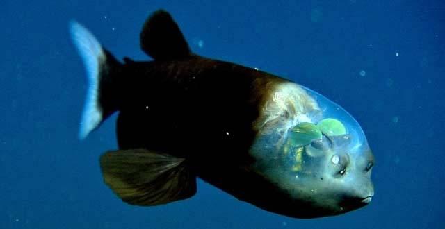 """Další podivín z mořských hlubin: Ryba s """"kokpitem"""" místo hlavy:"""