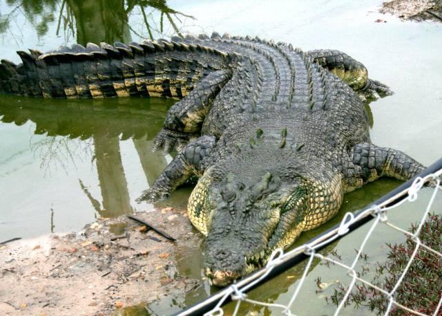 """Jaká je první reakce většiny lidí při vyslovení slova """"krokodýl""""? Nejspíše to bude nepříjemný pocit z ošklivého a nebezpečného zvířete. Krokodýli však již dlouhou dobu patří mezi ceněná domácí zvířata. Australští vědci proto nedávno zahájili rozsáhlé mapování krokodýlích genů."""