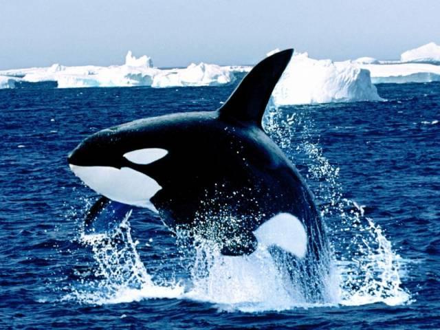 """Kosatky dravé (Orcinus orca) žijí podobně jako delfíni ve stádech. Na rozdíl od nich však v počtu, který za běžných podmínek nepřesahuje  20 kusů. Výjimečně se však vědcům podaří pozorovat stáda mnohem větší, často více než 100hlavá. Ale proč ale kosatky občas takhle """"schůzují""""?"""