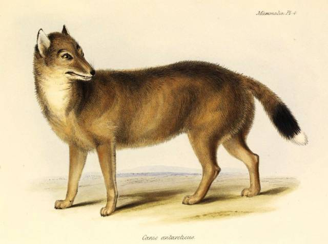 Když se mladý Charles Darwin plavil okolo světa na palubě lodi Beagle, narazil při své zastávce na Falklandách u východního cípu Jižní Ameriky na do té doby neznámou psovitou šelmu. Tento druh však již v roce 1876 zcela vyhynul.</p><p> Vědci se však nevzdávají a snaží se o něm zjistit co nejvíce nejmodernější metodou: pohledem do jeho genů.