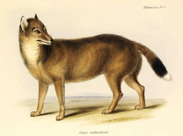 Když se mladý Charles Darwin plavil okolo světa na palubě lodi Beagle, narazil při své zastávce na Falklandách u východního cípu Jižní Ameriky na do té doby neznámou psovitou šelmu. Tento druh však již v roce 1876 zcela vyhynul. Vědci se však nevzdávají a snaží se o něm zjistit co nejvíce nejmodernější metodou: pohledem do jeho genů.