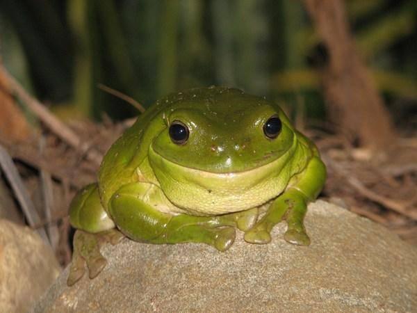Obojživelníky, tedy např. žáby či mloky pomalu likviduje především nešetrné zemědělství a ztráta jejich přirozeného prostředí. A aby toho nebylo málo, ke všem komplikacím se v posledních letech přidalo i nebezpečné houbovité onemocnění. Američtí vědci nedávno přišli se zjištěním, že parazit se po světě šíří i díky stále rostoucímu trhu se žabím masem.