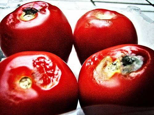 """Podle amerických genetiků z Purdue University v americkém státě Indiana bychom se v budoucnu již nemuseli v ochodech setkávat s nahnilým ovocem. Objevili totiž gen, který dokáže prodloužit """"životnost"""" rajčat na regálech obchodů  přinejmenším o týden."""